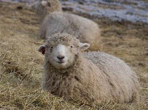 Adult Sheep Sitting in Straw