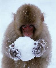 Macaque and a Snowball