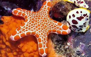 Orange and White Starfish