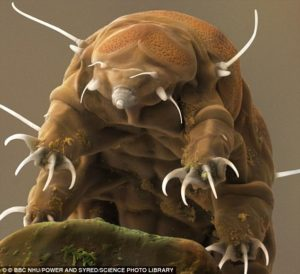Close-up Tardigrade