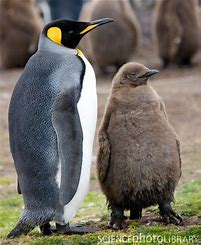 Adult King Penguin with Chick