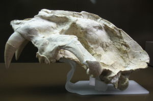 Saber Tooth Skull Fossil