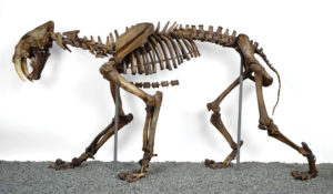 Smilodon Full Skeleton