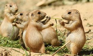 Prairie Dogs Sharing Food