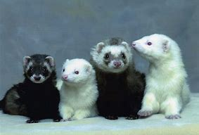 Four Ferrets in a Row