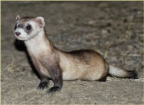 Ferret Standing on the Ground