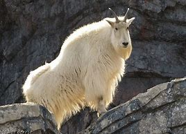 Single Male Mountain Goat