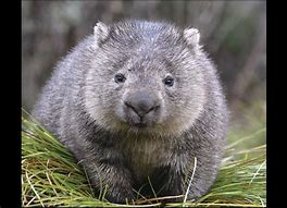Adult Wombat on Grass