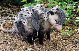 Mother Opossum with Babies