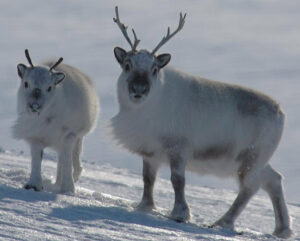 Mother Reindeer with Calf