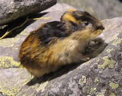 Norwegian Lemming on a Rock