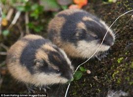 Two Small Lemmings