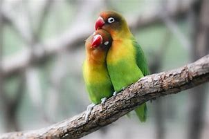 Pair of Love Birds In Tree