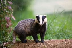 Badger on Ground