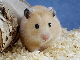 Small Pale Hamster