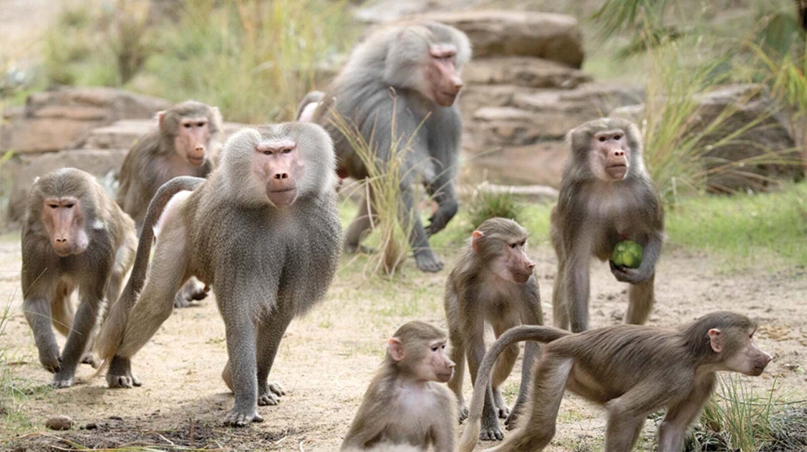 Baboons Walking on Ground