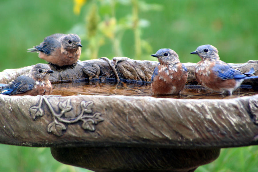 Small Birds in Birdbath