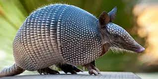 Armadillo on Wall