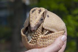 Armadillo Partially Rounded