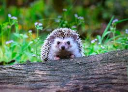 Hedgehog Climbing Over Log