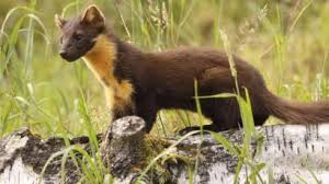 Pine Marten in the Grass