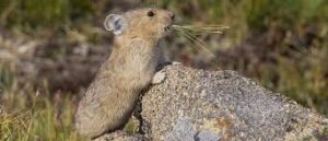 American Pika on Rock