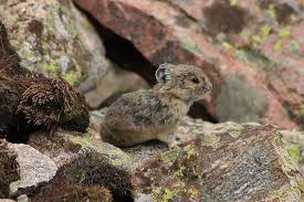 Baby American Pika