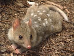 Adult Quoll on Ground