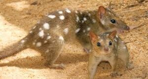 Mother Quoll and Baby