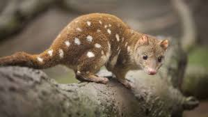 Quoll on Rock