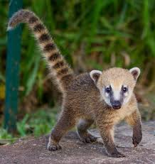 Coati Standing on Ground Photo