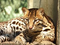 Ocelot Resting in the Sun