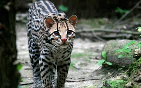 Ocelot Standing on the Ground