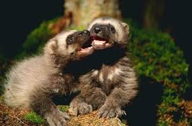 Two Baby Wolverines