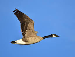 Adult Canadian Goose Photo