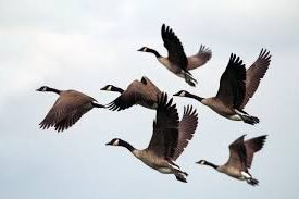 Canadian Geese Flying Together