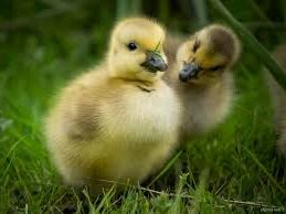 Two Canadian Goose Chicks