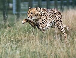 Cheetah Running Through Grass