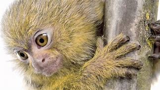Pygmy Marmoset Photo
