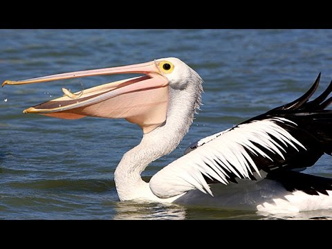 Adult Pelican Eating Fish