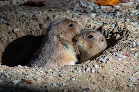 Two Prairie Dogs At Tunnel Entrance