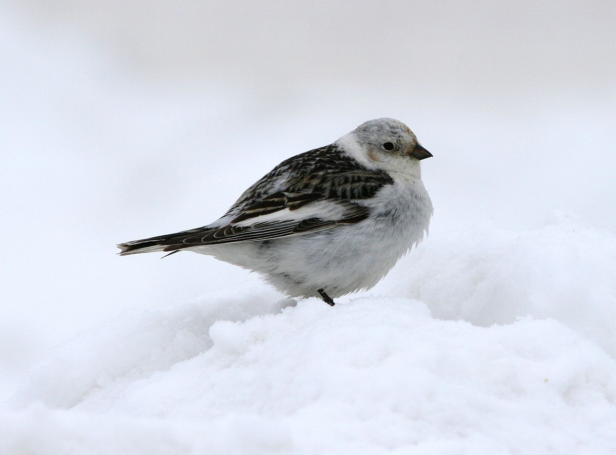 Snow Bunting Standing in Snow
