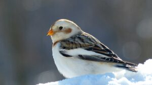 Colorful Snow Bunting Photo