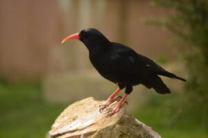 Red-billed Chough Perched on Rock