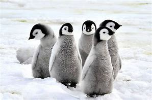A Group of Baby Penguins