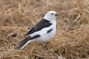 Adult Snow Bunting in Dry Grass