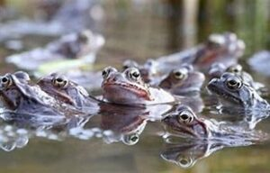A Group of Frogs in Water