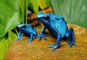 Poison Dart Frog Adult and Baby