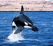 Orca Jumping Out of Water
