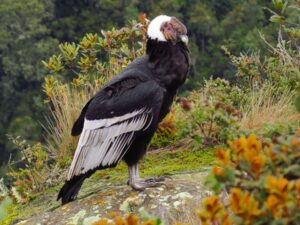 Andean Condor On Ground